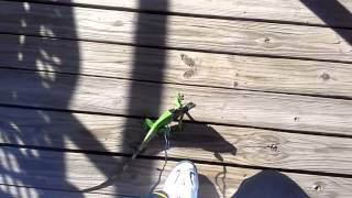 Iguana outside with leash