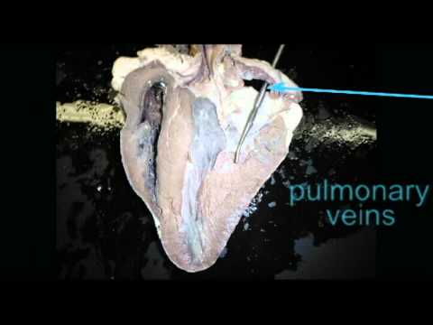ap2 heart anatomy quiz pulmonary veins cowavi youtube