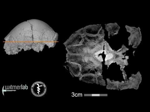 Visible Interactive Pachycephalosaur - Sphaerotholus - horizontal slice