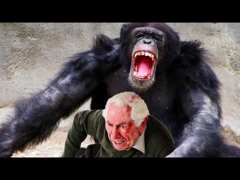 World's Worst Chimp Attacks! Chimpanzees, Apes and Bites from YouTube · Duration:  2 minutes 37 seconds