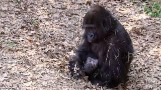 Gorilla baby March 19, 2013