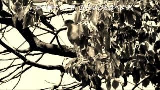 平和の使者鳩とハトの歌詞が登場する演歌のコラボレーション.