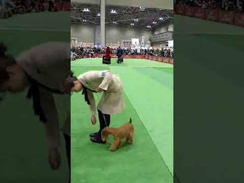 FCI Japan International Dog Show 2019 (Lakeland Terrier/PINKY)