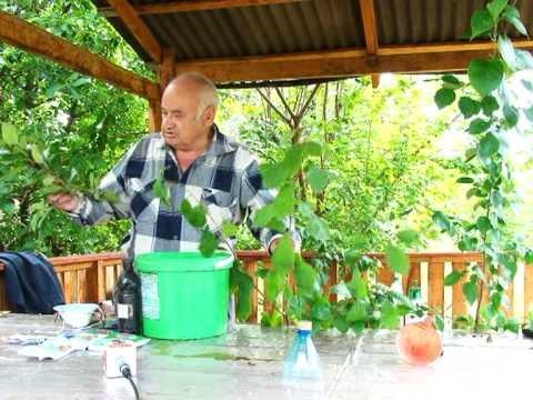 Выращивание абрикосов в россии 151