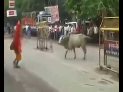 Indian Funny Crazy Cow video 2015   Indian...