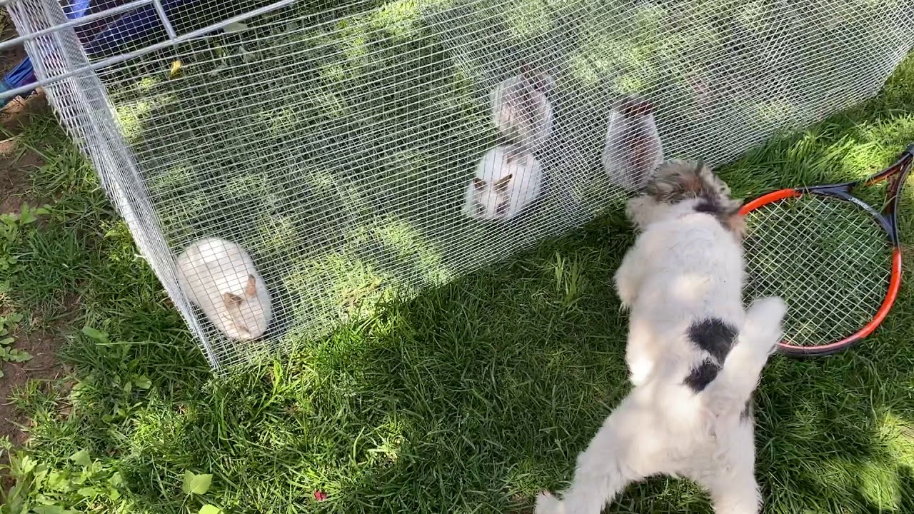 Wire Fox Terrier Pup is Tempted by Bunnies