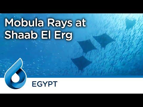 Mobula Rays at Shaab El Erg © Christopher Harrison