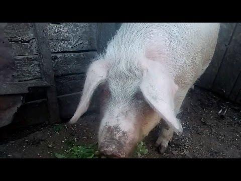 Как я выращиваю свиней! Выращивание свиней на мясо, выращивание свиней в домашних условиях.