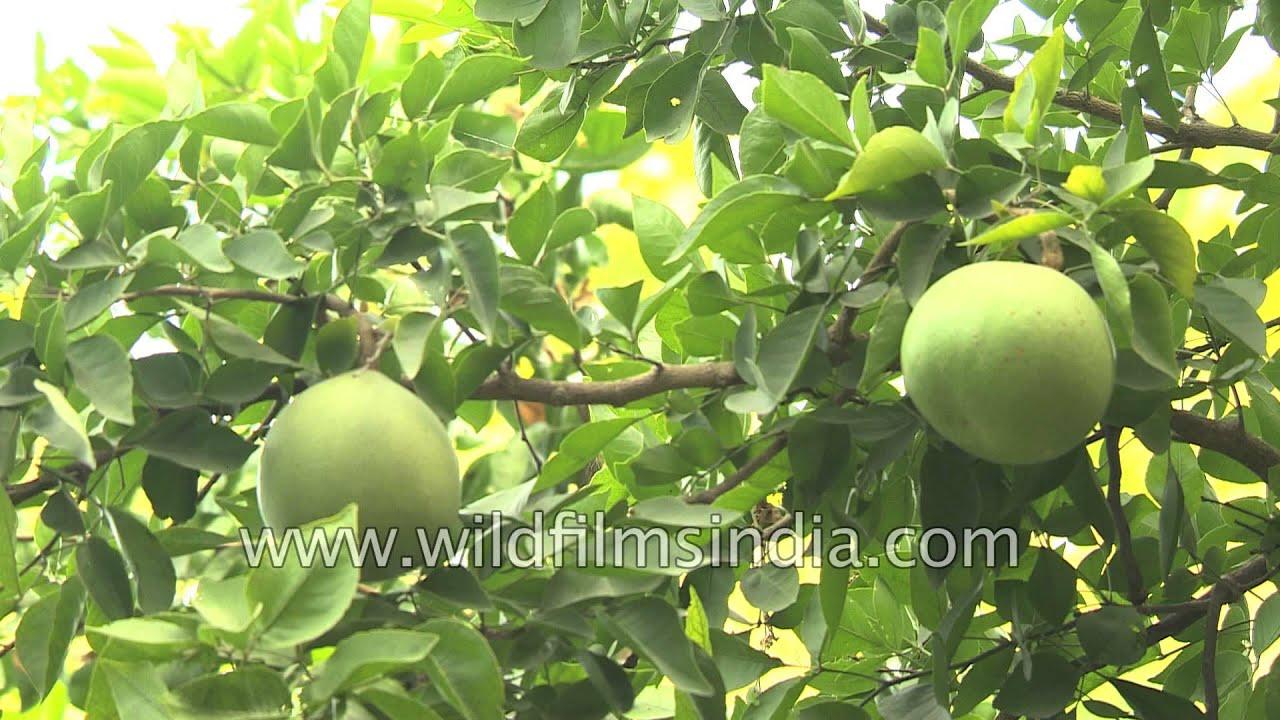 Herb Garden Indian Fruit Bael Kinno Sharifa Or Custard Apple And