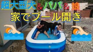 超大型犬1歳BOSS君と4歳の娘とプール開きしました♥ 川もいいけど、家庭...