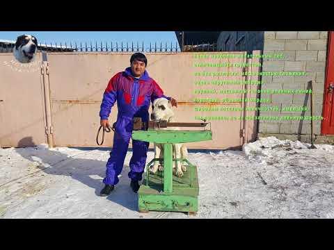 Вес, рост, промеры алабая Басара в 2 года.
