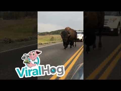 Bison in Yellowstone National Park || ViralHog