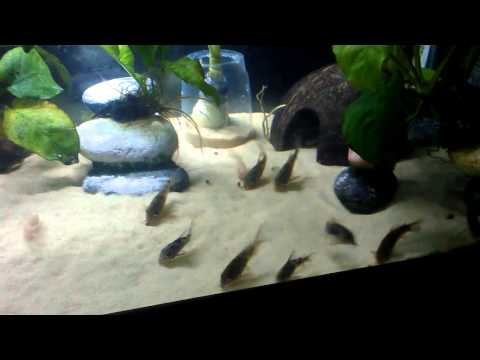 Cory Cats On Sand Bed