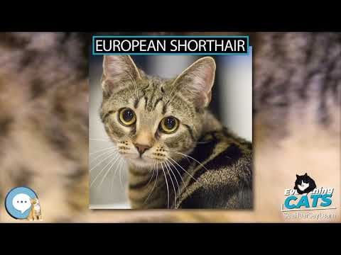 European Shorthair 🐱🦁🐯 EVERYTHING CATS 🐯🦁🐱
