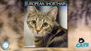European Shorthair  EVERYTHING CATS