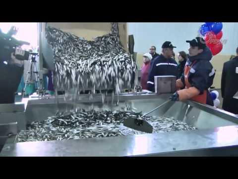 У жителей Кингисеппского района будут свои ШПРОТЫ. Открыт рыбокомбинат в Усть-Луге. Ореол