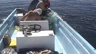 Saving a Humpback Whale Caught in a Net