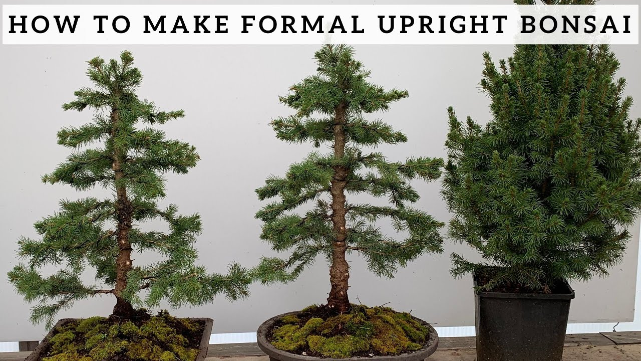 Making Formal Upright Bonsai From Alberta Spruce Youtube