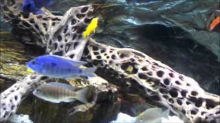 African Cichlid- Best Aquariums On Youtube - Grow Out Tank
