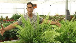 Decogarden: Cuidados De Los Helechos De Interior Y Del Ficus Ginseng