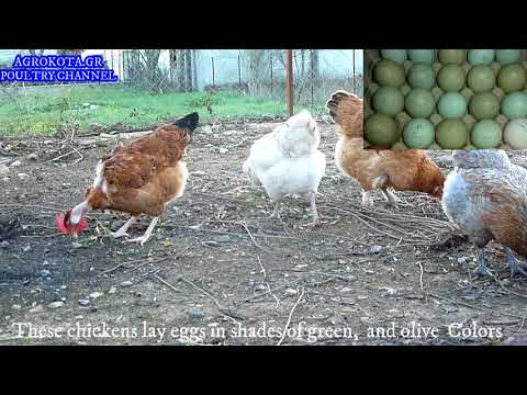 these-chickens-lay-eggs-in-shades-of-green,-and-olive-colors--πρασινα-αυγα,--agrokota.gr