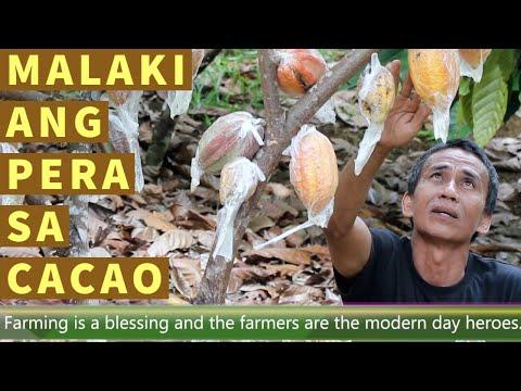 MALAKI BA ANG KIKITAING PERA SA CACAO FARMING?