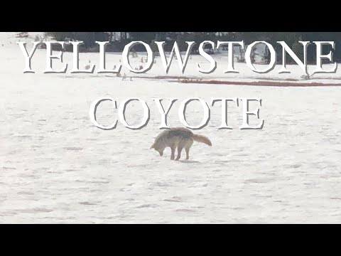 COYOTE HUNTING FOR MICE (Mousing) | YELLOWSTONE NATIONAL PARK