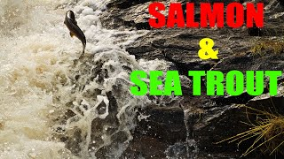 Wild Irish Salmon And Trout Run