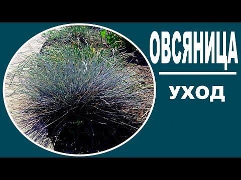 Овсяница луговая  посадка и уход .  Декоративные травы.