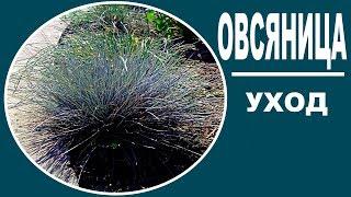Овсяница луговая (голубая) .Декоративные травы.