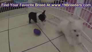 Boston Terrier, Puppies, For, Sale, In, Jacksonville,florida, Fl,tallahassee,gainesville,