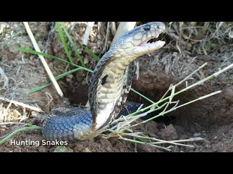 DIG A CAVE TO CATCH SNAKES EPISODE 42: CATCH COBRA ATTACK THE DUCK| Hunting Snakes