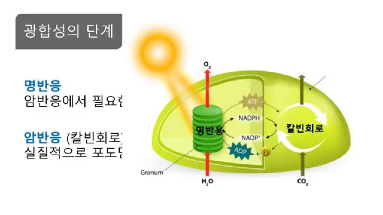우리엘(Uriel) | 광합성 작용 - Daum 카페