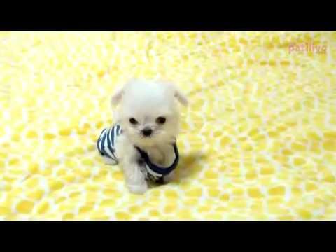 En Tatlı 13 Küçük Köpek