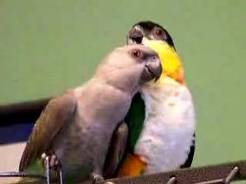 Red Bellied Parrot and Blackcap Caique Playing 3