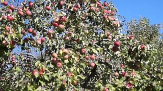 Правильная обрезка плодовых деревьев осенью - яблони. Видео как обрезать яблоню - уход(Самый ПРОСТОЙ способ обрезки ЯБЛОНИ! Правильная обрезка яблони увеличивает урожайность дерева и повышает..., 2015-10-12T10:52:55.000Z)