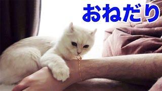 ご飯をおねだりする猫