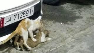 Ridiculous cats mating