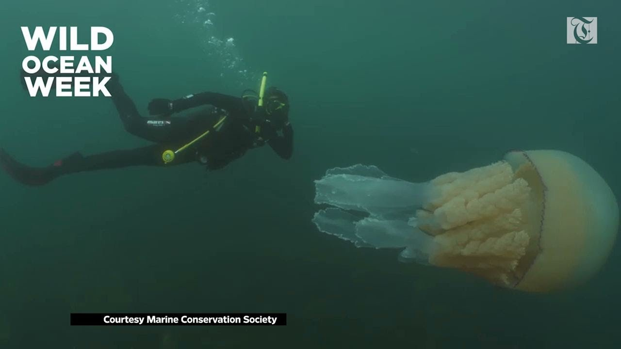 Diving With Giant Barrel Jelly Fish