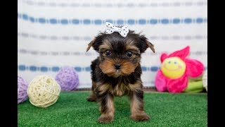 Лучший подарок на день рождения / Щенок йорка / купить щенка йоркширского терьера