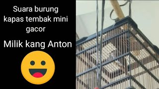 Download Mp3 Suara Burung Kapas Tembak Mini Gacor