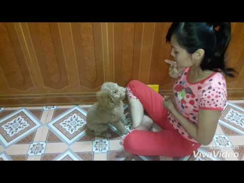 Huấn luyện Chó Poodle toy