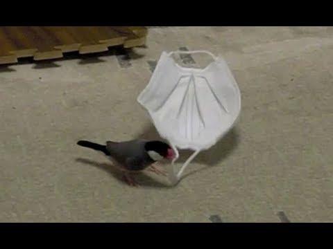 マスクを引きずり回す桜文鳥ほーちゃん 最後飛び逃げ 文鳥動画 Java Sparrow movie