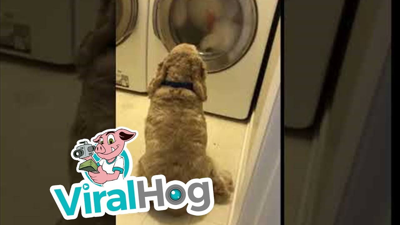 Dog Watches Teddy Bear Spin in Wash