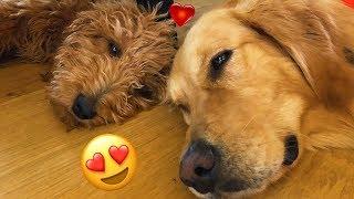 Golden Doodle PUPPY Meets Golden Retriever!