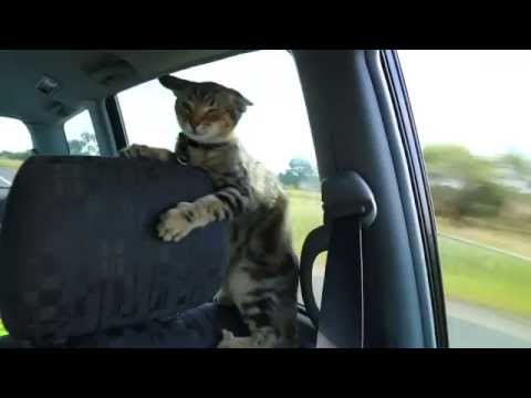 Zimmy The Adventure Cat Loves Open Car Window