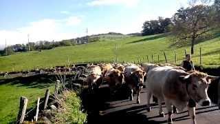 Vaches Aubrac de retour de la montagne