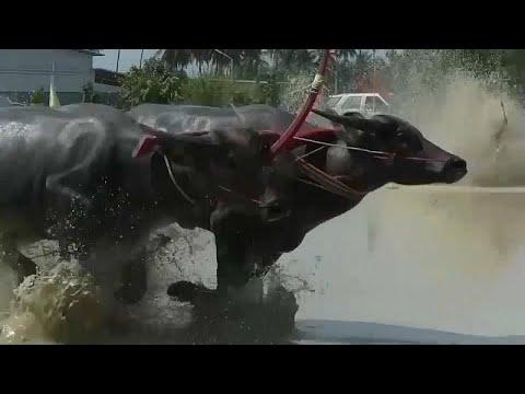 يورو نيوز:شاهد: سباق الجواميس للاحتفال ببدء موسم البذر في تايلاند…