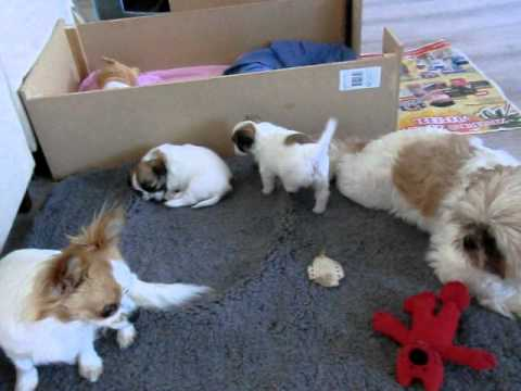 Puppies Shih Tzu Chihuahua