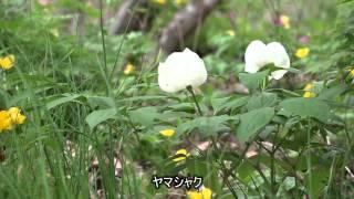 文弥の庭の山野草・満開のヤマブキソウ群落が見事です。